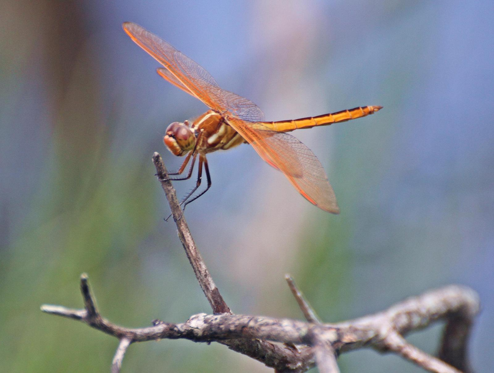 Golden-winged Skimmer Photo by Andrew Theus