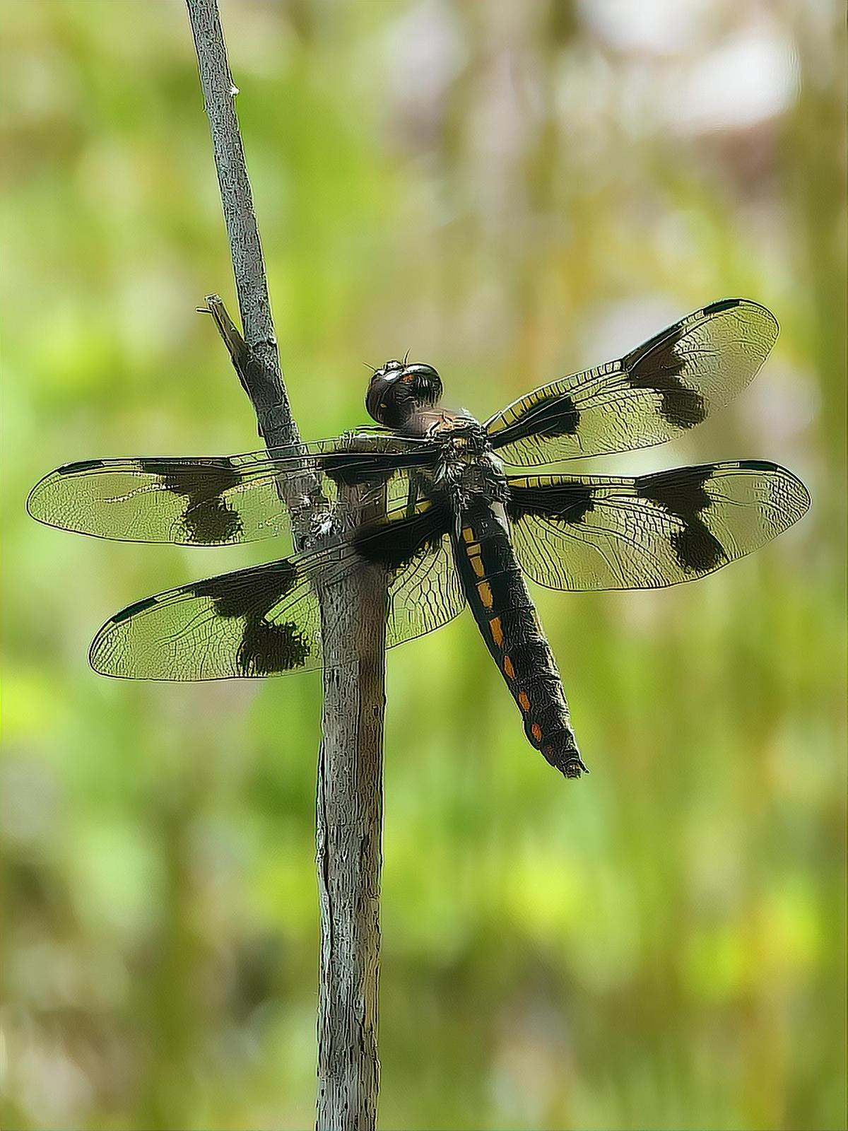 Eight-spotted Skimmer Photo by Dan Tallman