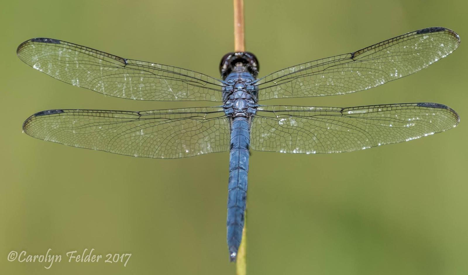 Slaty Skimmer Photo by Carolyn Felder