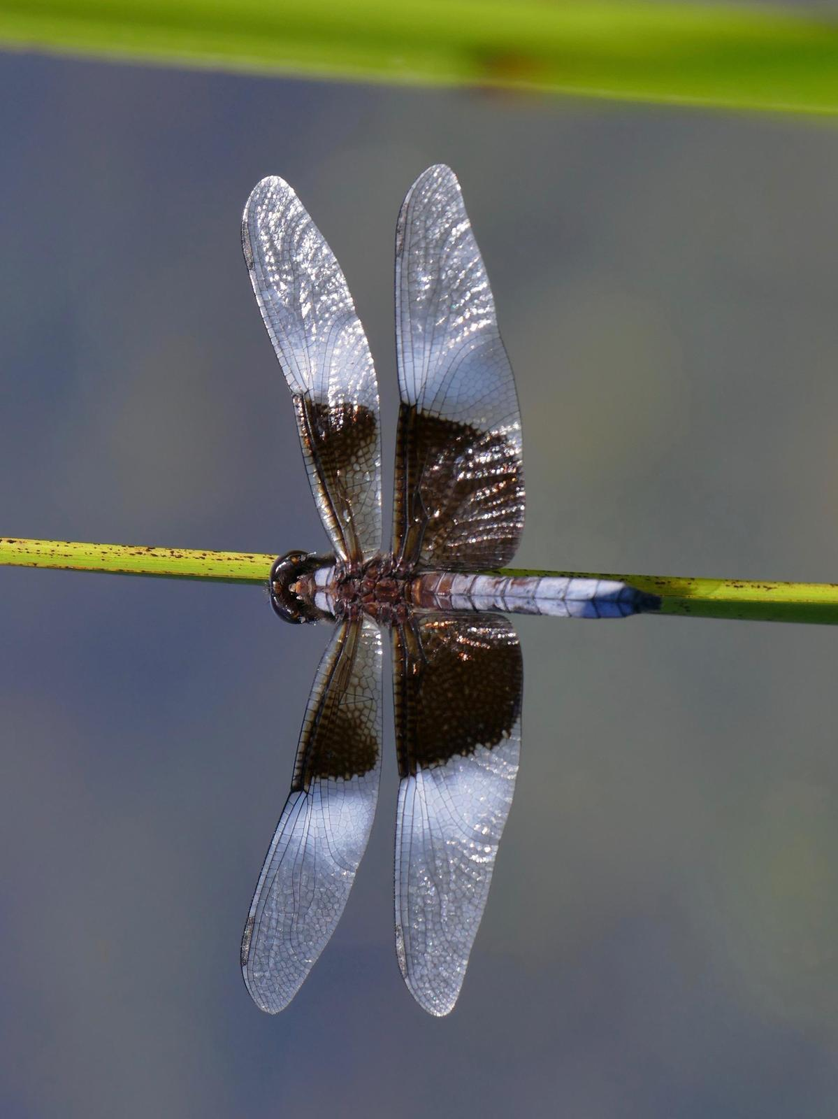 Widow Skimmer Photo by Drew Weber