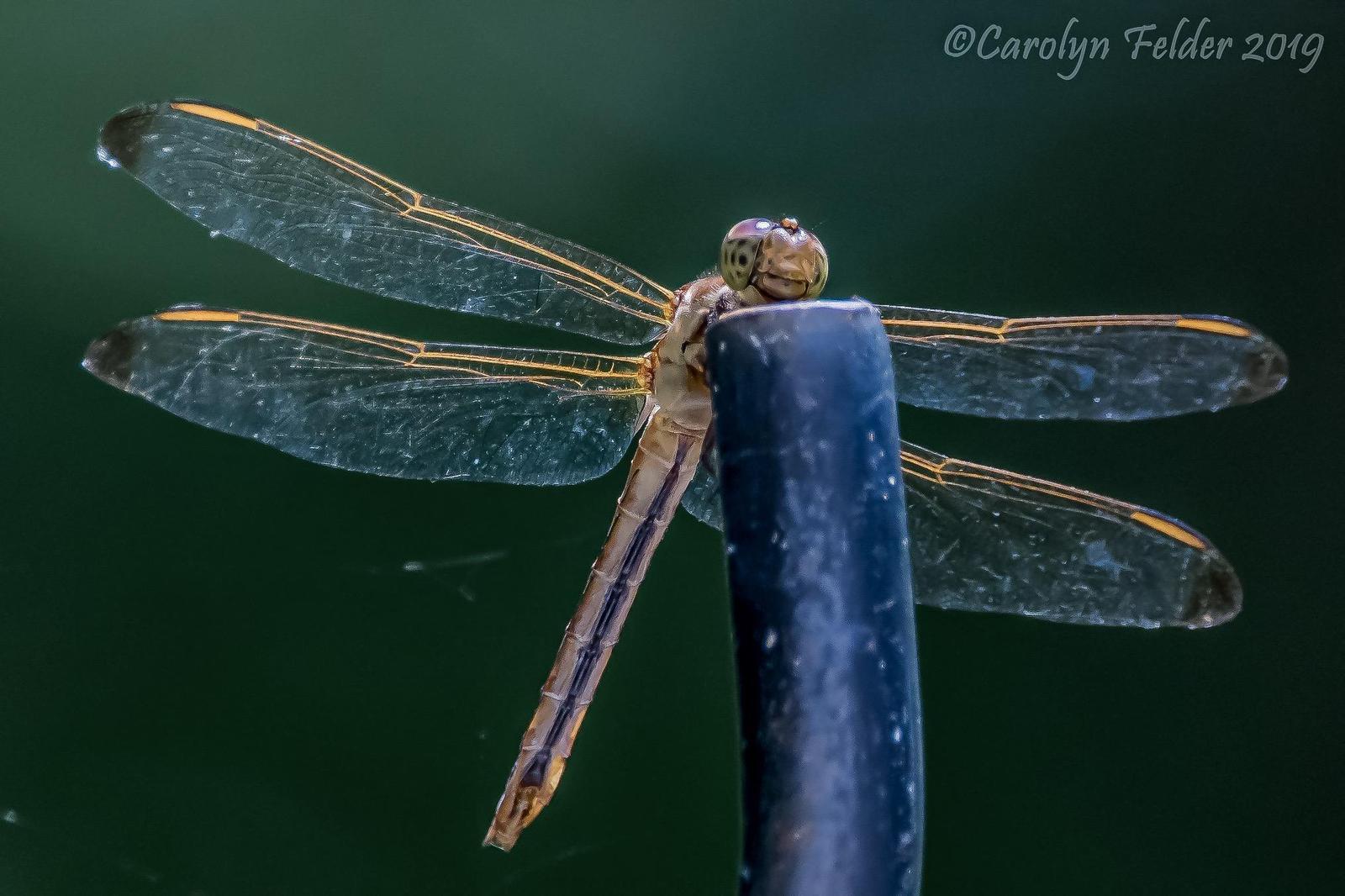 Needham's Skimmer Photo by Carolyn Felder