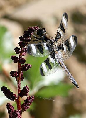 Twelve-spotted Skimmer Photo by Dan Tallman