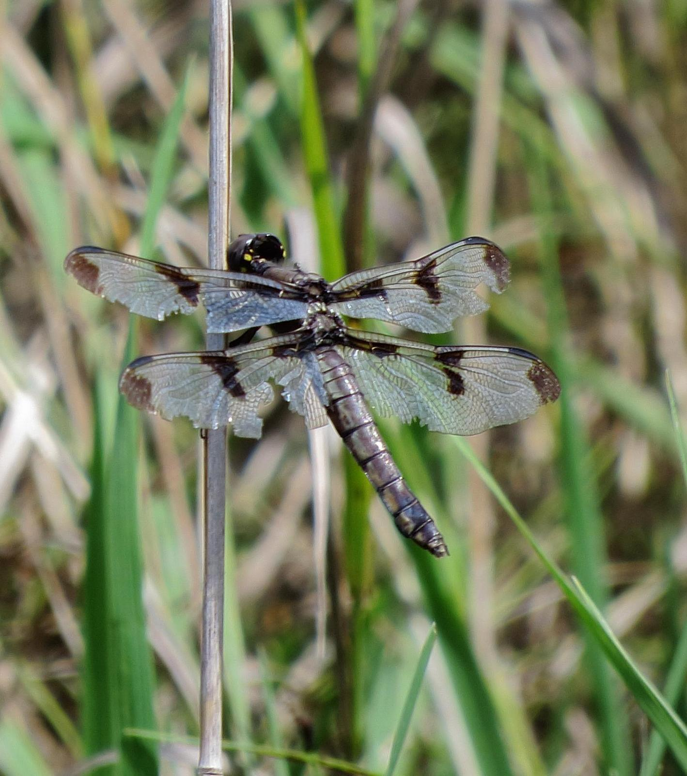 Twelve-spotted Skimmer Photo by Kent Jensen