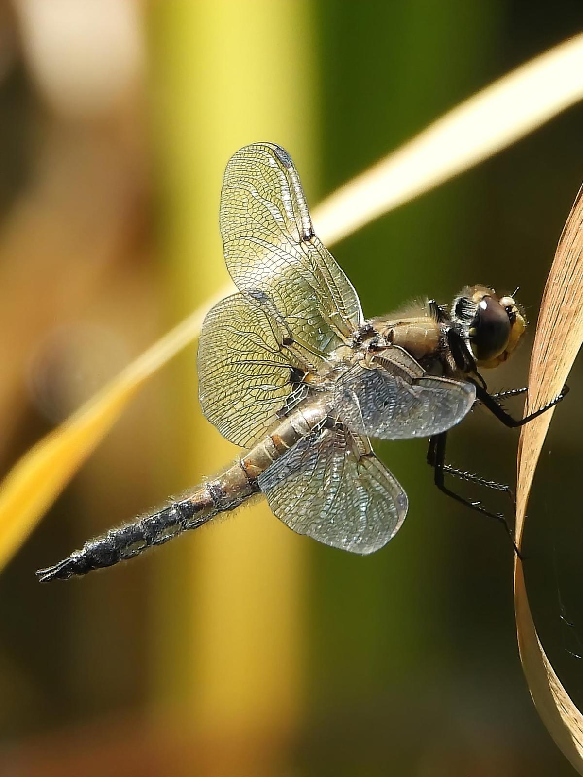 Four-spotted Skimmer Photo by Dan Tallman
