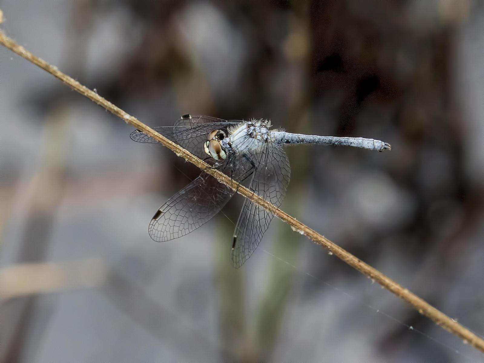 Elfin Skimmer Photo by Michael Moore