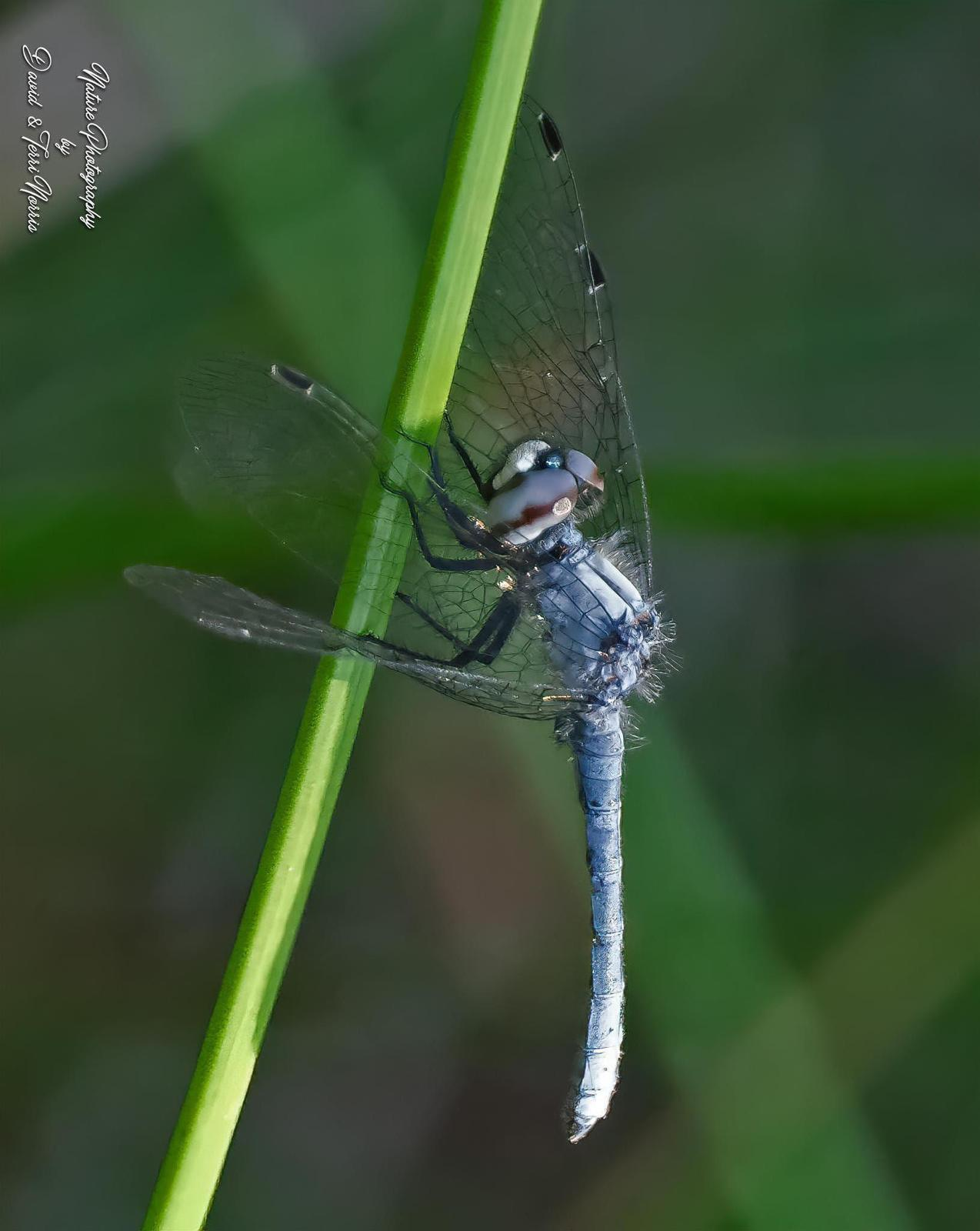 Elfin Skimmer Photo by Terri Norris