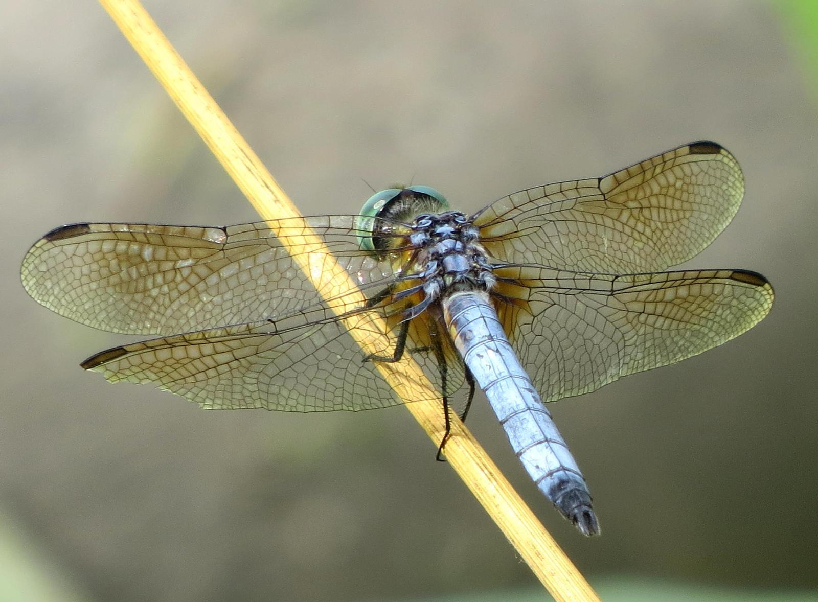 Blue Dasher Photo by Kent Jensen