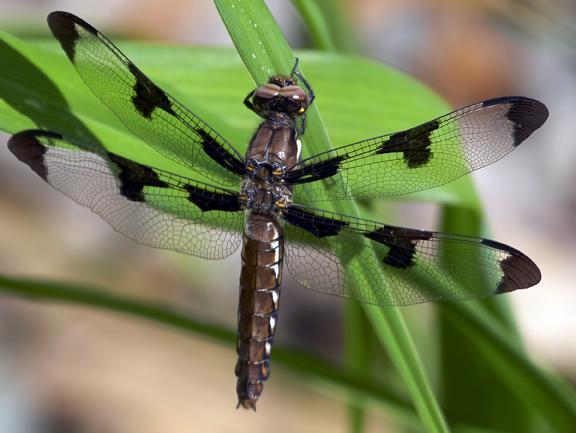 Common Whitetail Photo by Dan Tallman
