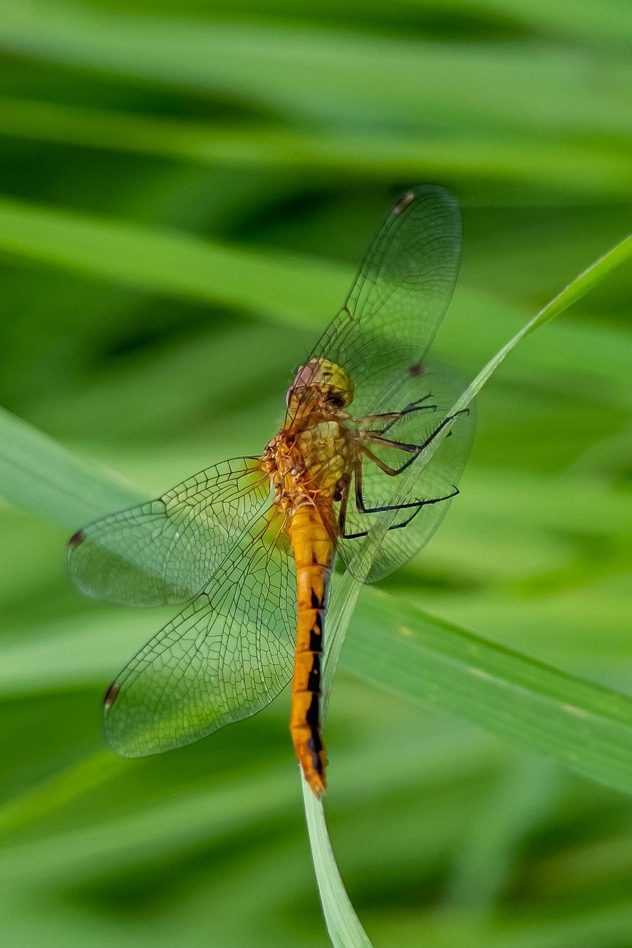 White-faced Meadowhawk Photo by Gerald Hoekstra