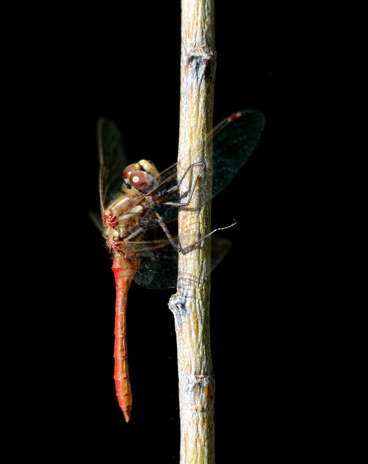 Striped Meadowhawk Photo by Steven Mlodinow