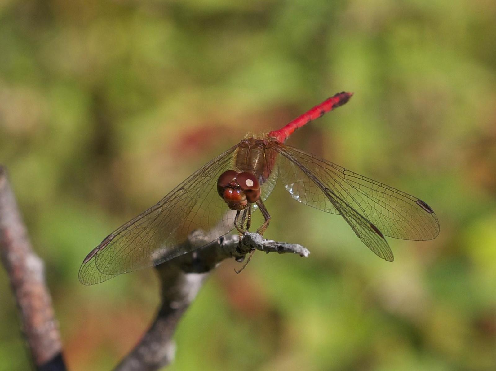 Autumn Meadowhawk Photo by Scott King