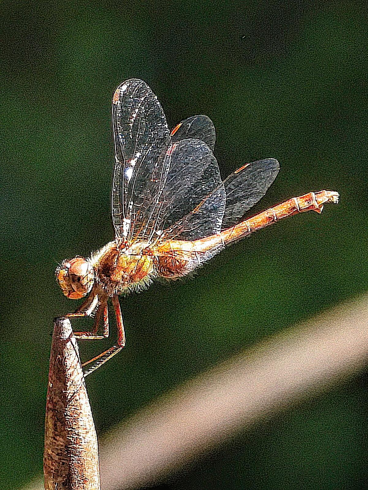 Autumn Meadowhawk Photo by Dan Tallman