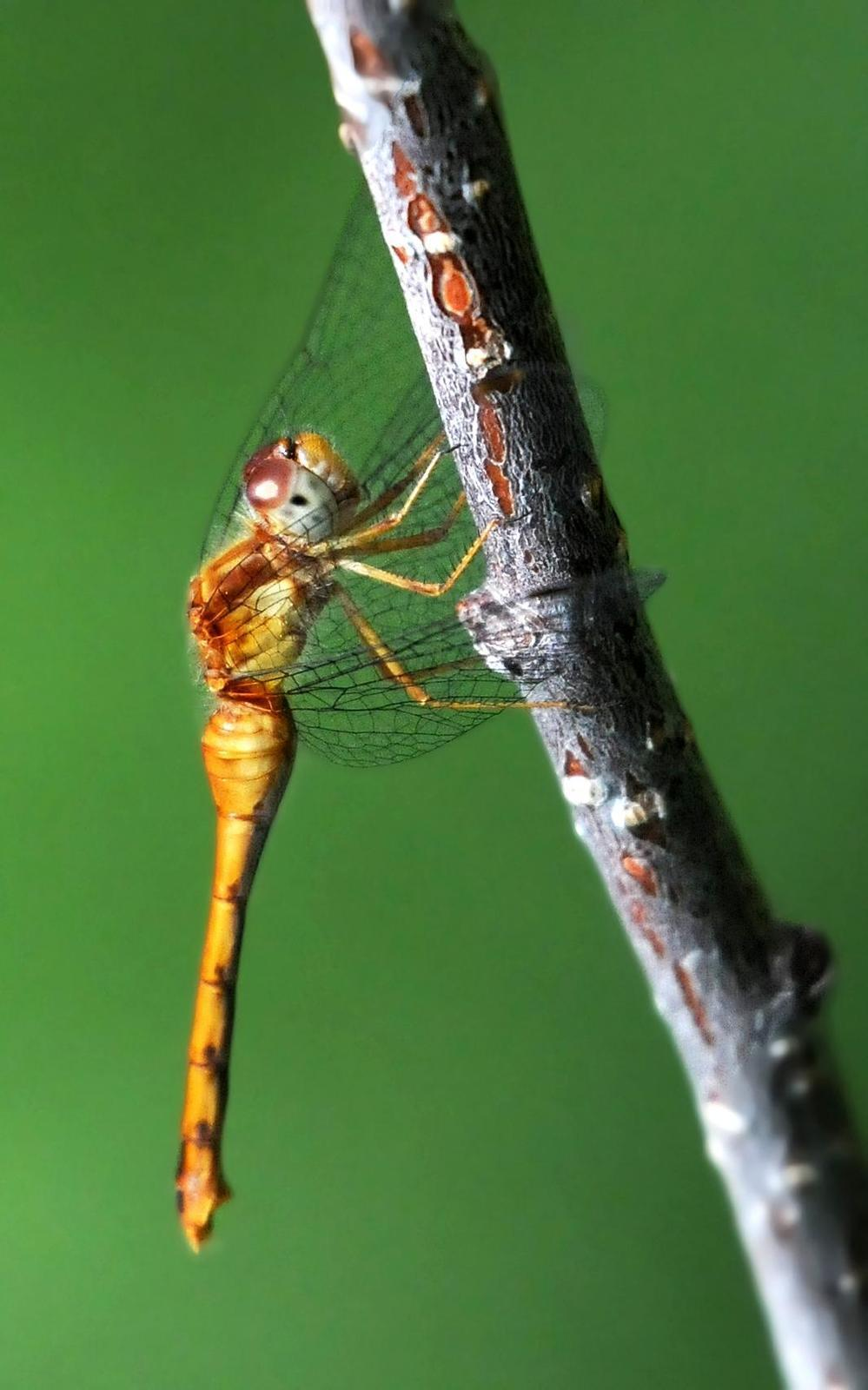 Autumn Meadowhawk Photo by Steven Mlodinow