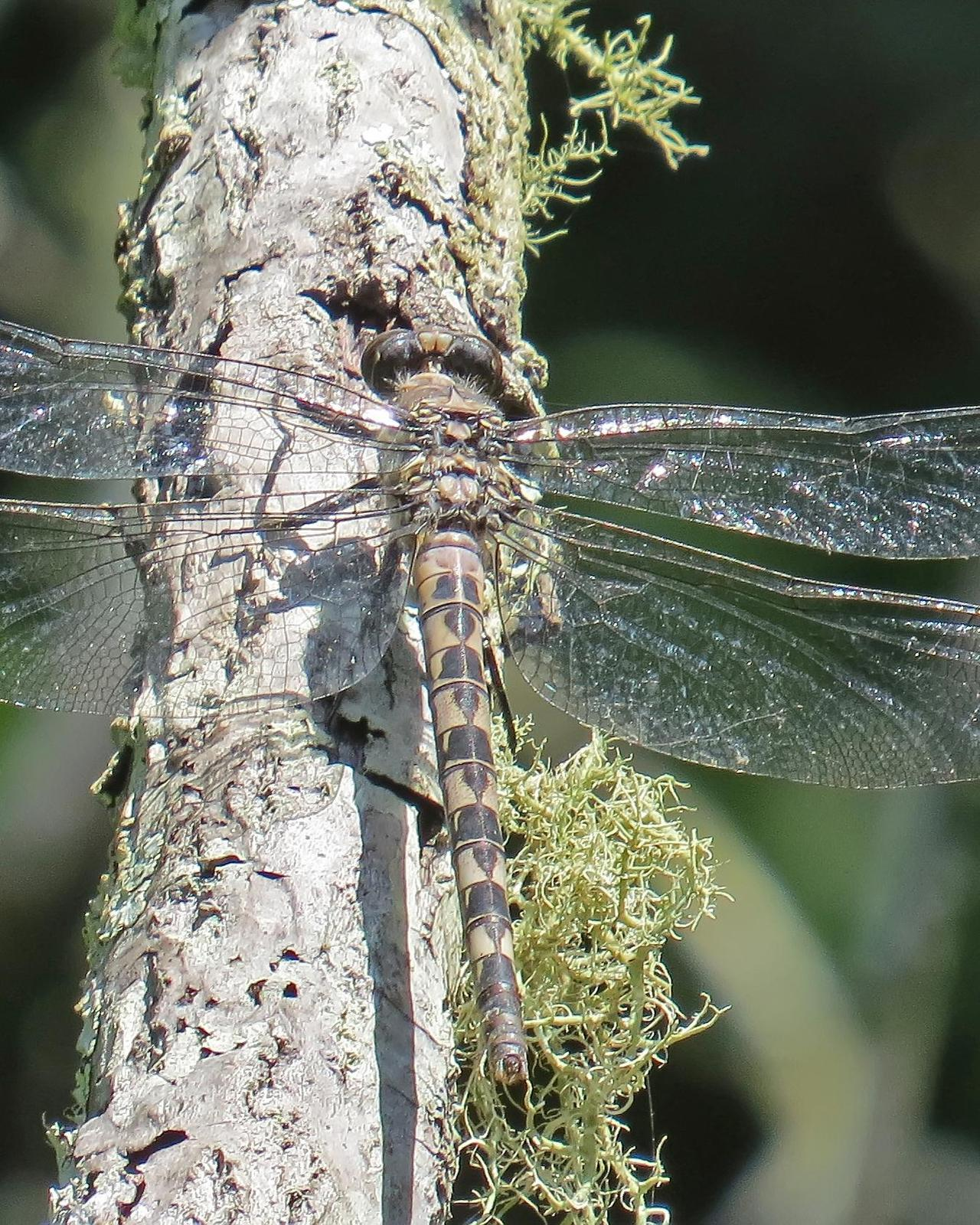 Gray Petaltail Photo by marion dobbs