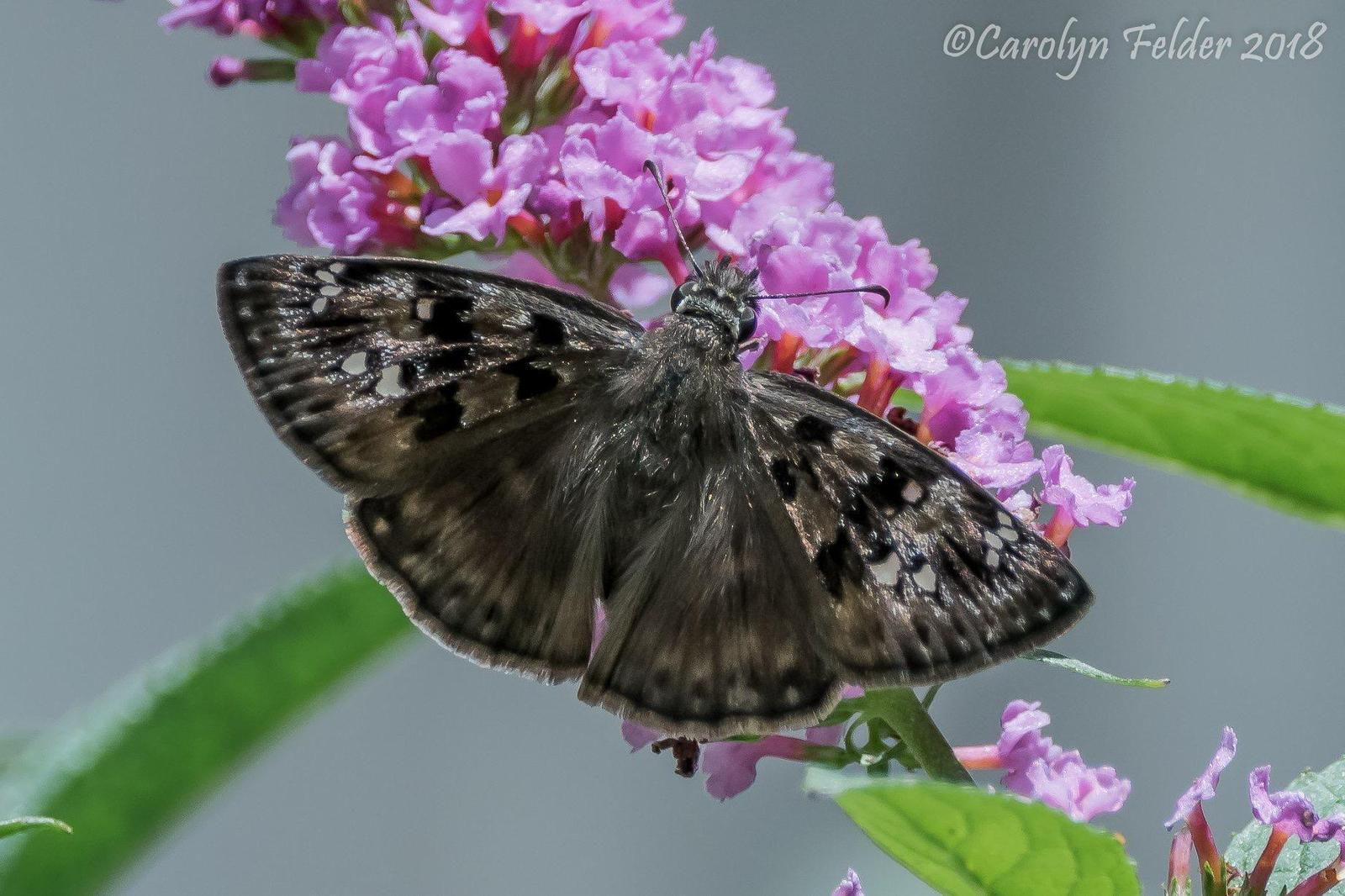 Horace's Duskywing Photo by Carolyn Felder