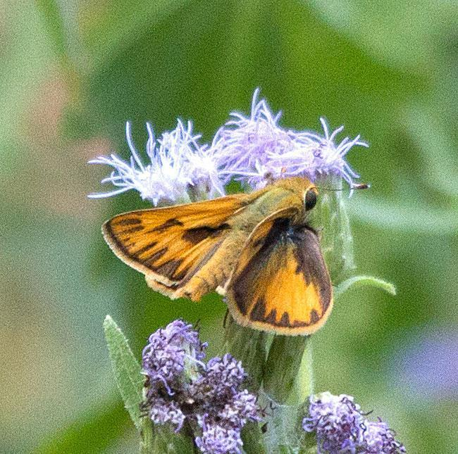 Fiery Skipper Photo by Scott Berglund