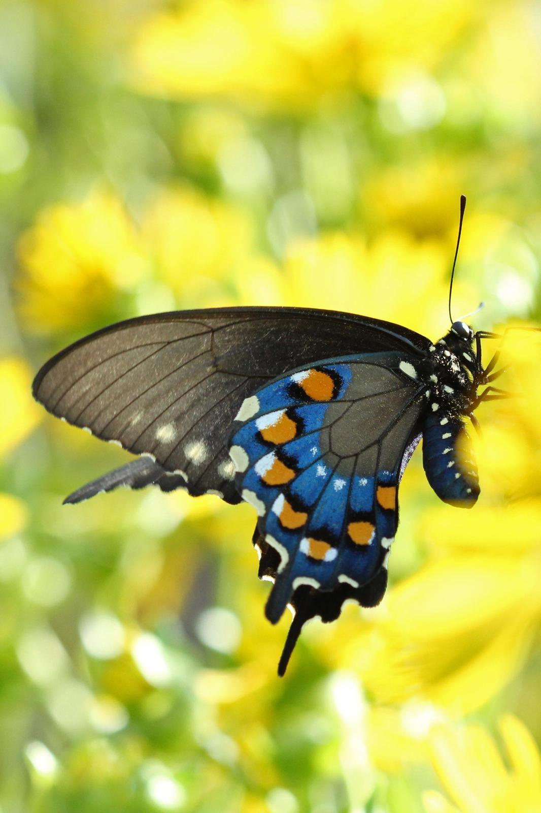 Pipevine Swallowtail Photo by Kristy Baker
