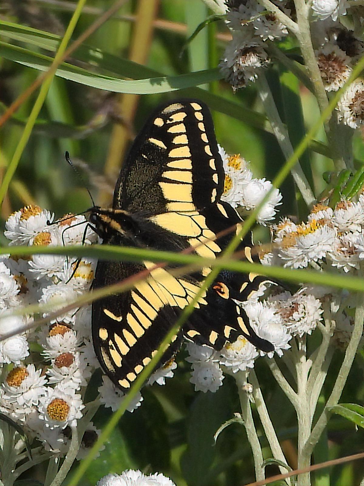 Anise Swallowtail Photo by Dan Tallman