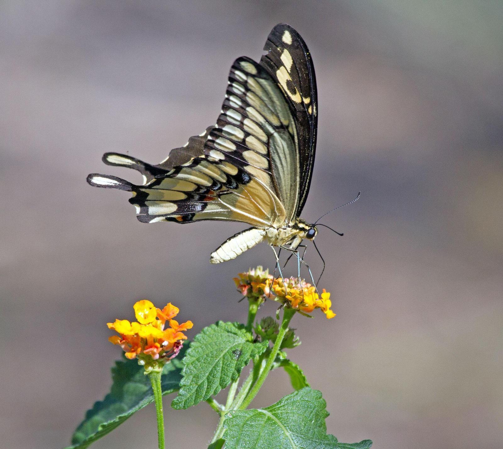 Giant Swallowtail Photo by Scott Berglund