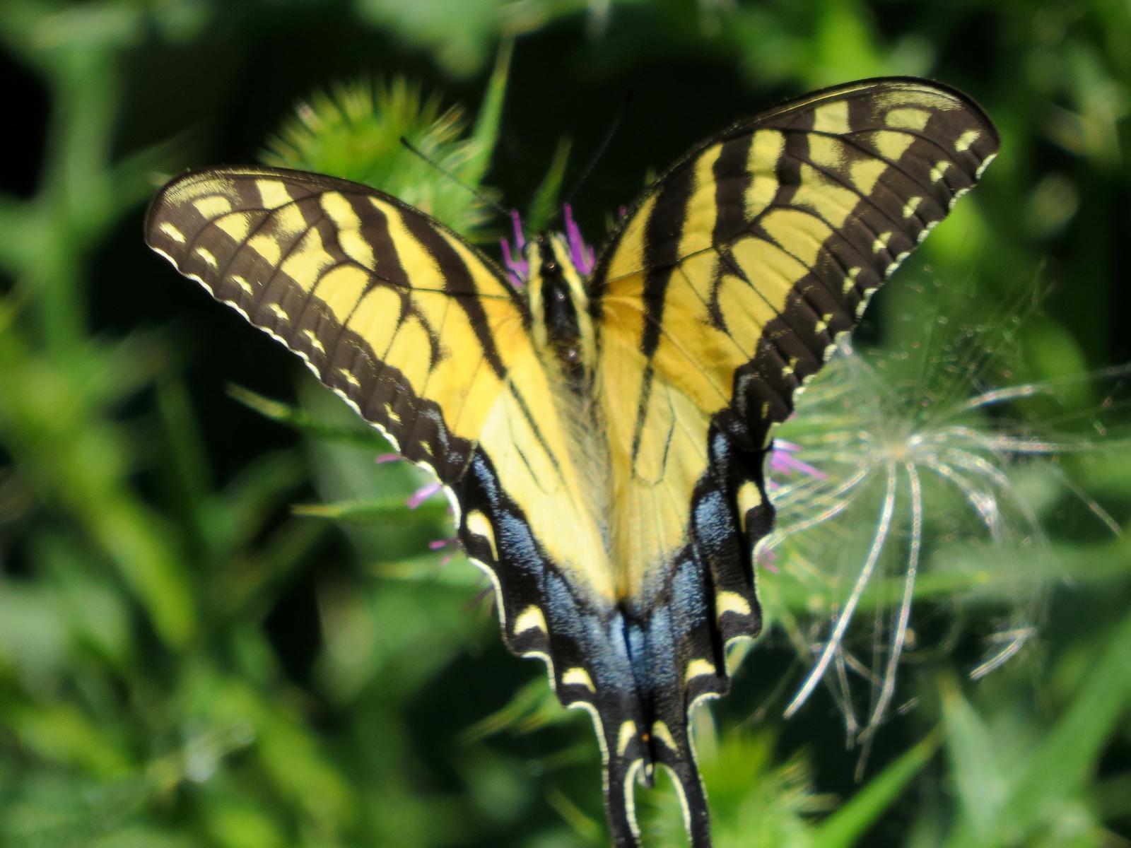 Eastern Tiger Swallowtail Photo by Kent Jensen