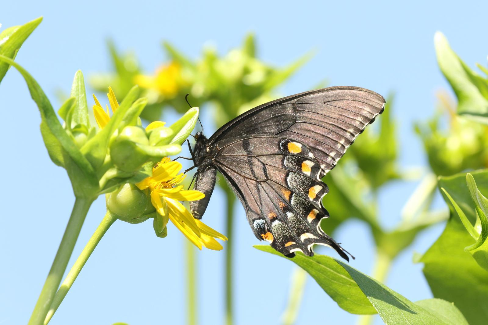 Eastern Tiger Swallowtail Photo by Kristy Baker