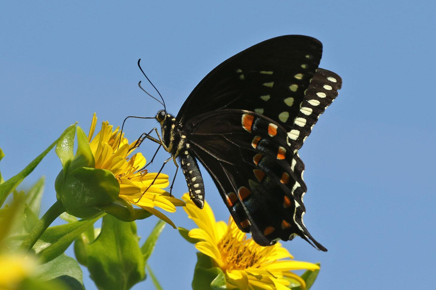 Spicebush Swallowtail Photo by Kristy Baker