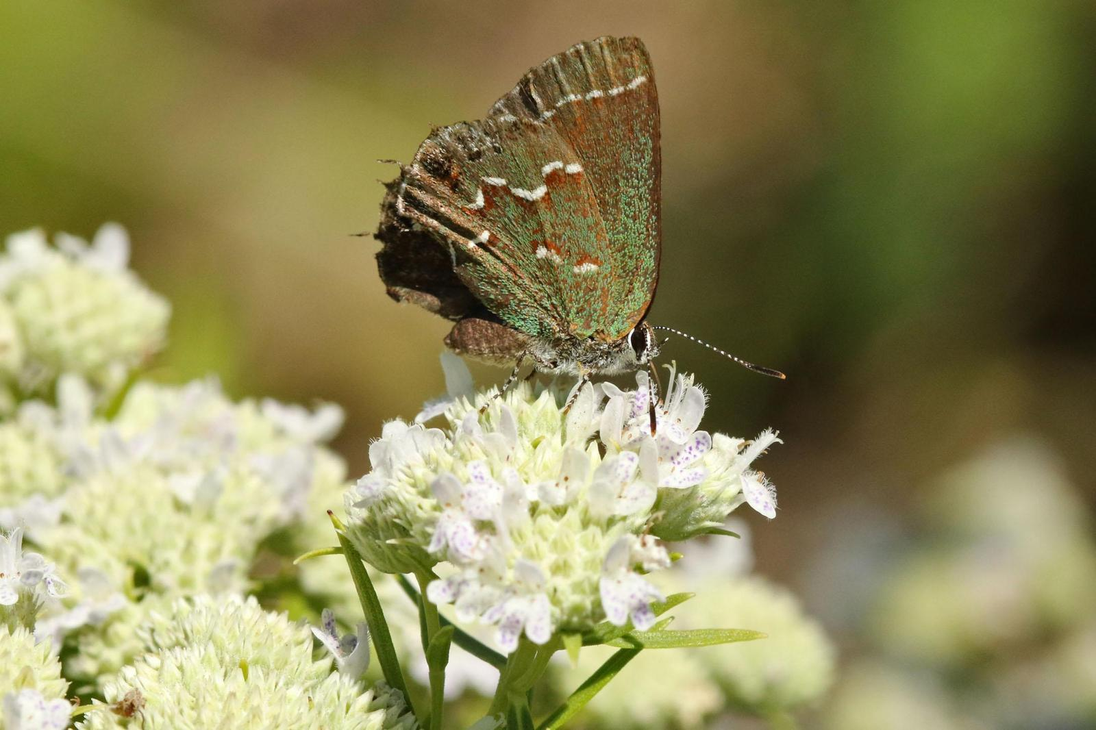 Juniper Hairstreak Photo by Kristy Baker