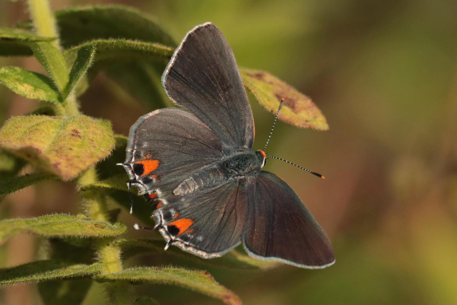 Gray Hairstreak Photo by Kristy Baker