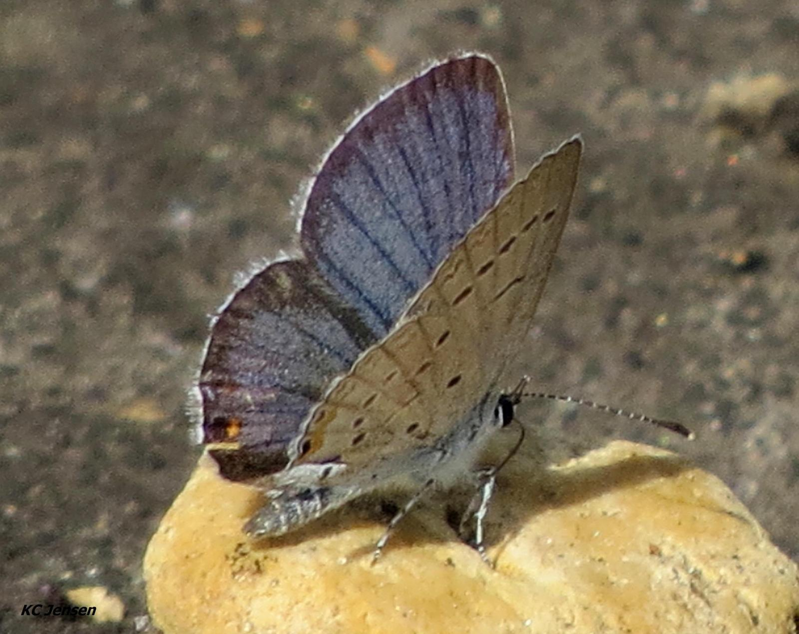Eastern Tailed-Blue Photo by Kent Jensen