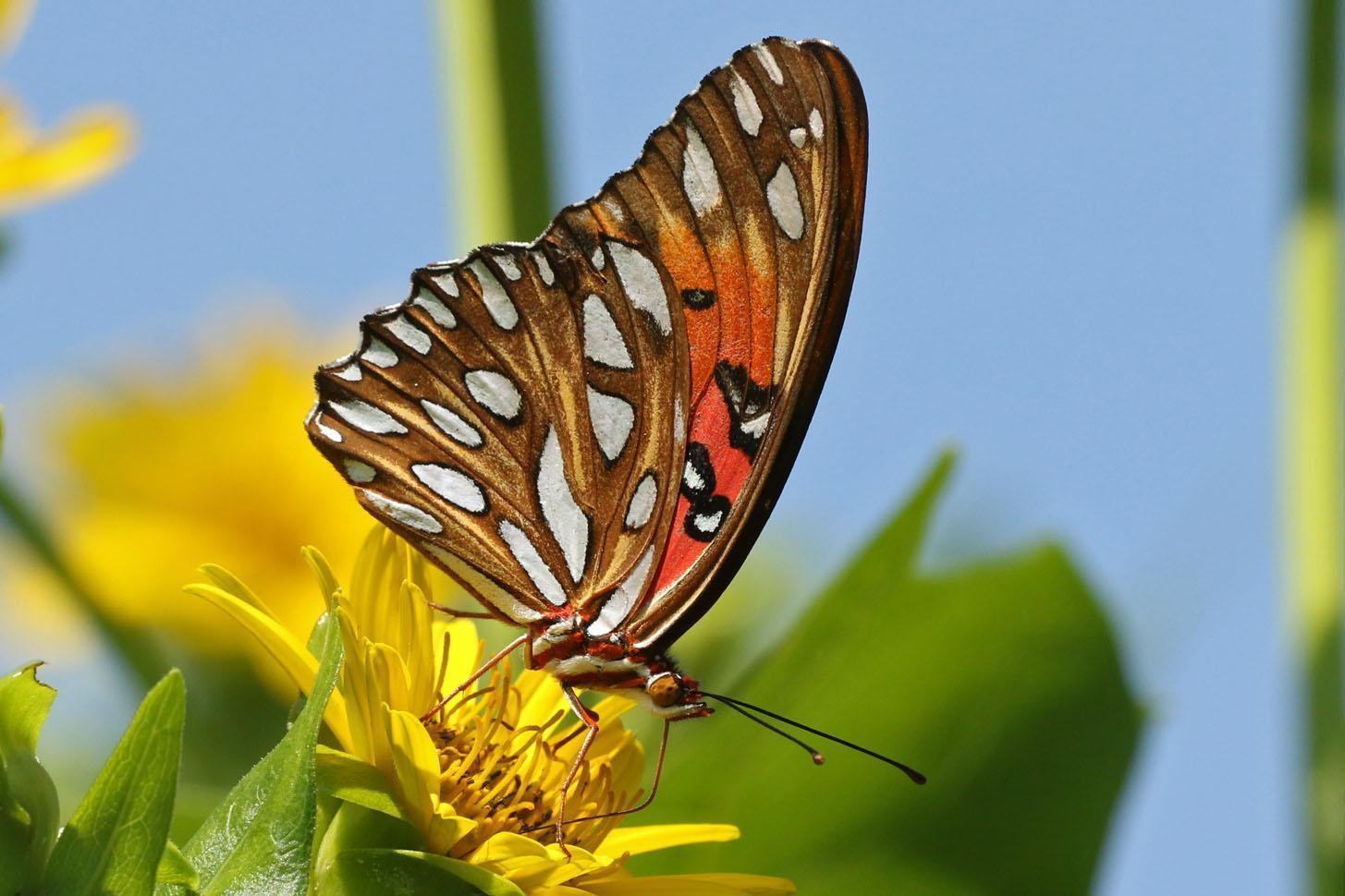 Gulf Fritillary Photo by Kristy Baker