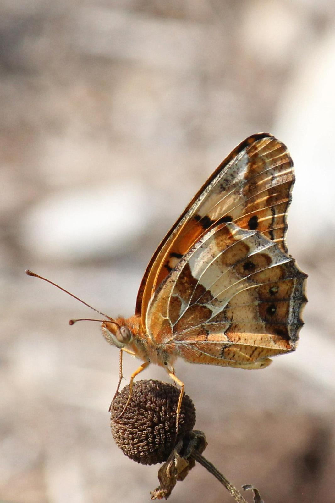Variegated Fritillary Photo by Kristy Baker