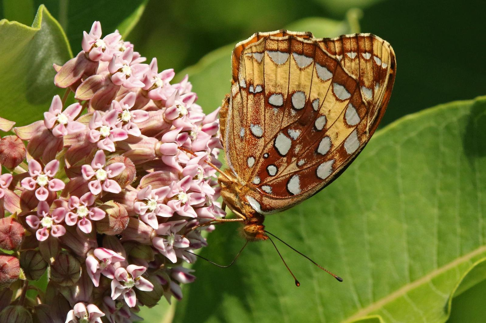 Great Spangled Fritillary Photo by Kristy Baker