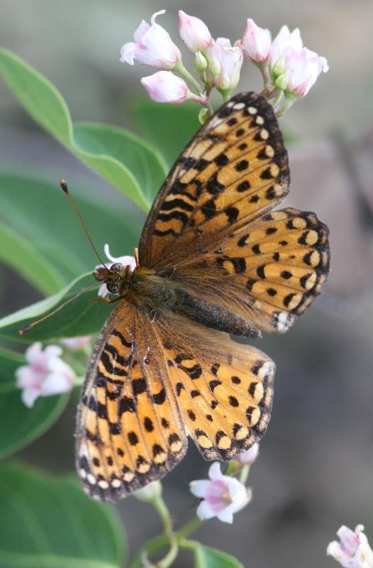 Edwards' Fritillary Photo by Terry Hibbitts