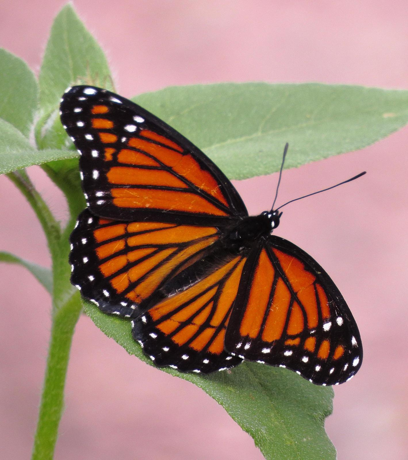 Viceroy Photo by Kent Jensen