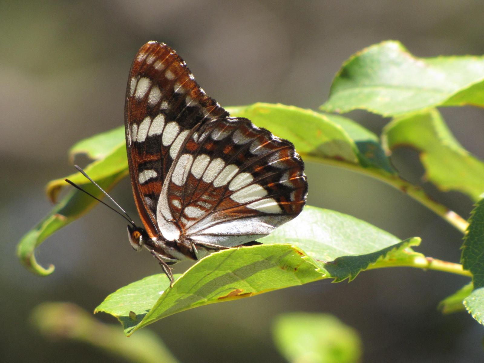 Lorquin's Admiral Photo by Jeff Harding