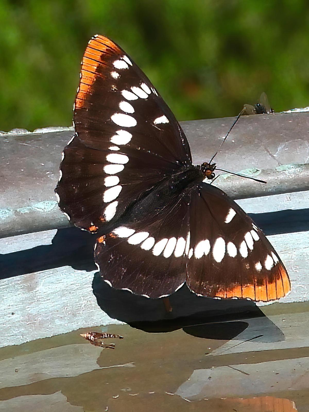 Lorquin's Admiral Photo by Dan Tallman