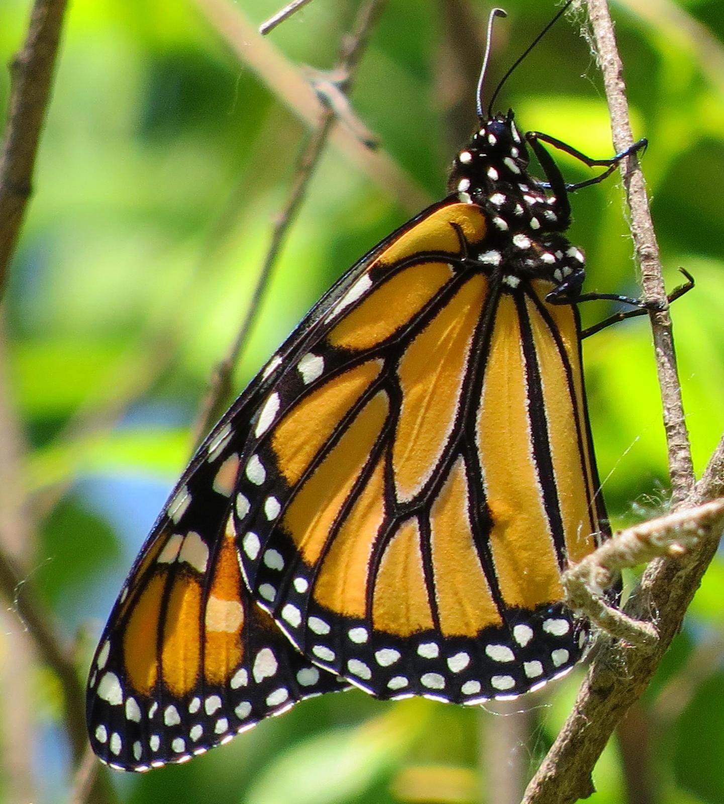 Monarch Photo by Kent Jensen