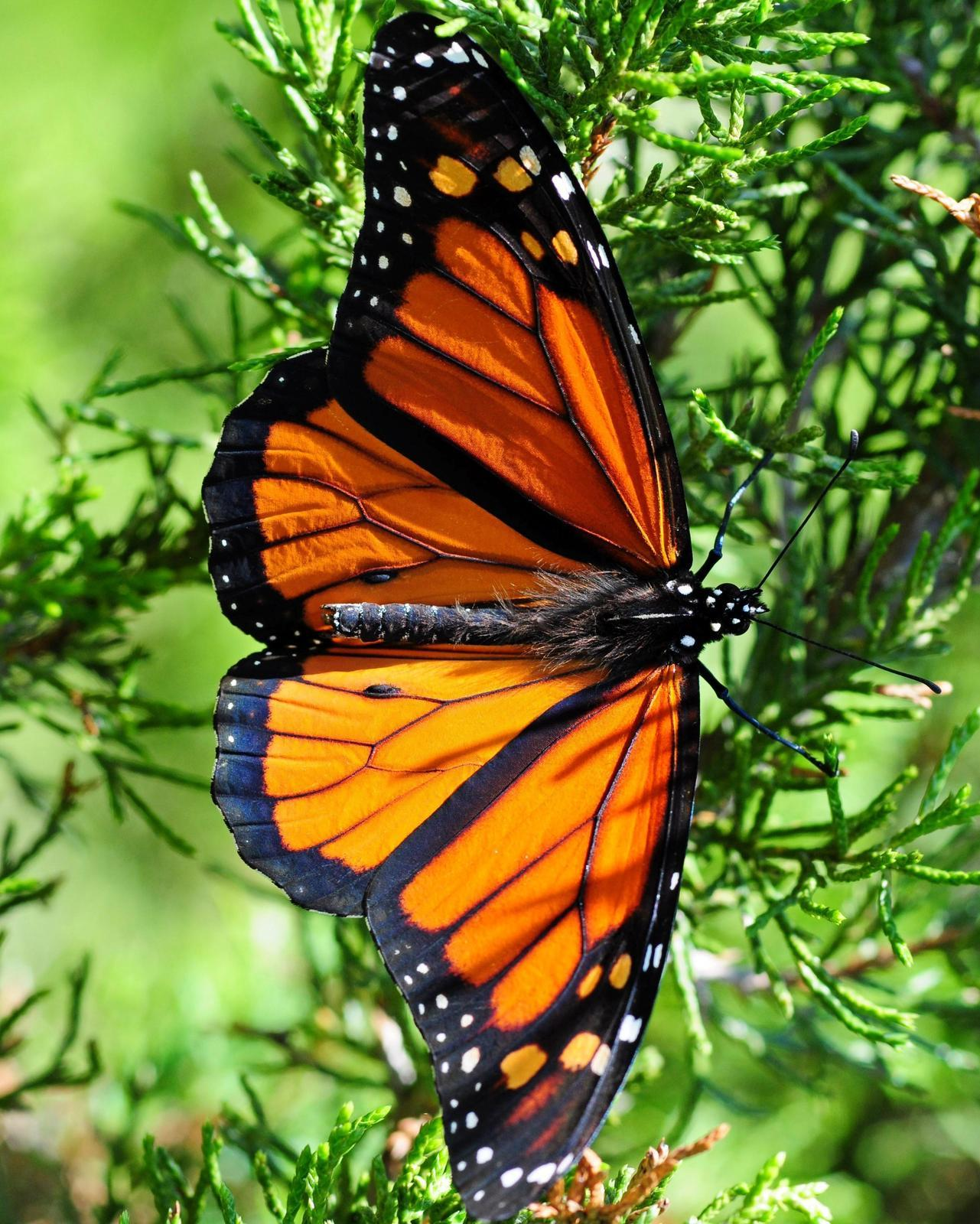 Monarch Photo by Maxim Larrivèe, Ph.D.