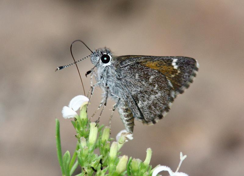 Bronze Roadside-Skipper Photo by Terry Hibbitts