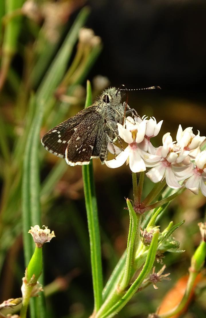 Elissa Roadside-Skipper Photo by Robert Behrstock