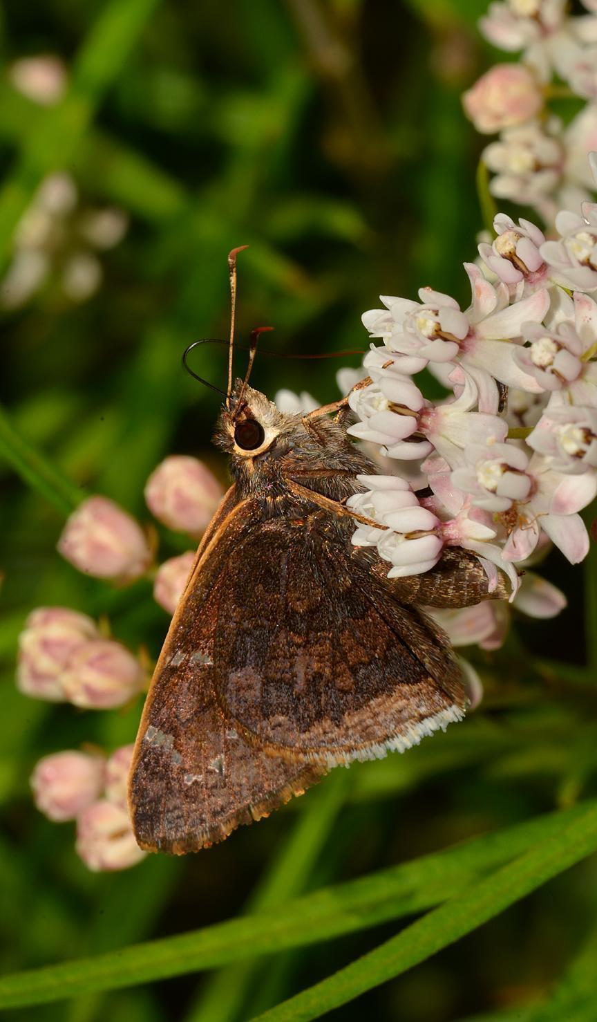Caicus Skipper Photo by Robert Behrstock