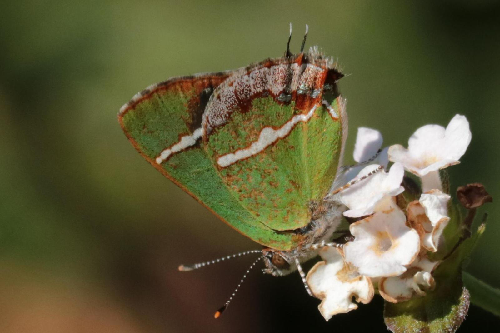Silver-banded Hairstreak Photo by Kristy Baker