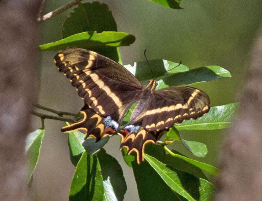 Schaus' Swallowtail Photo by Scott Berglund