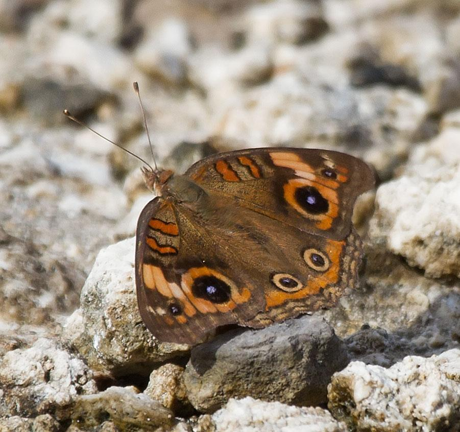 Mangrove Buckeye Photo by Scott Berglund
