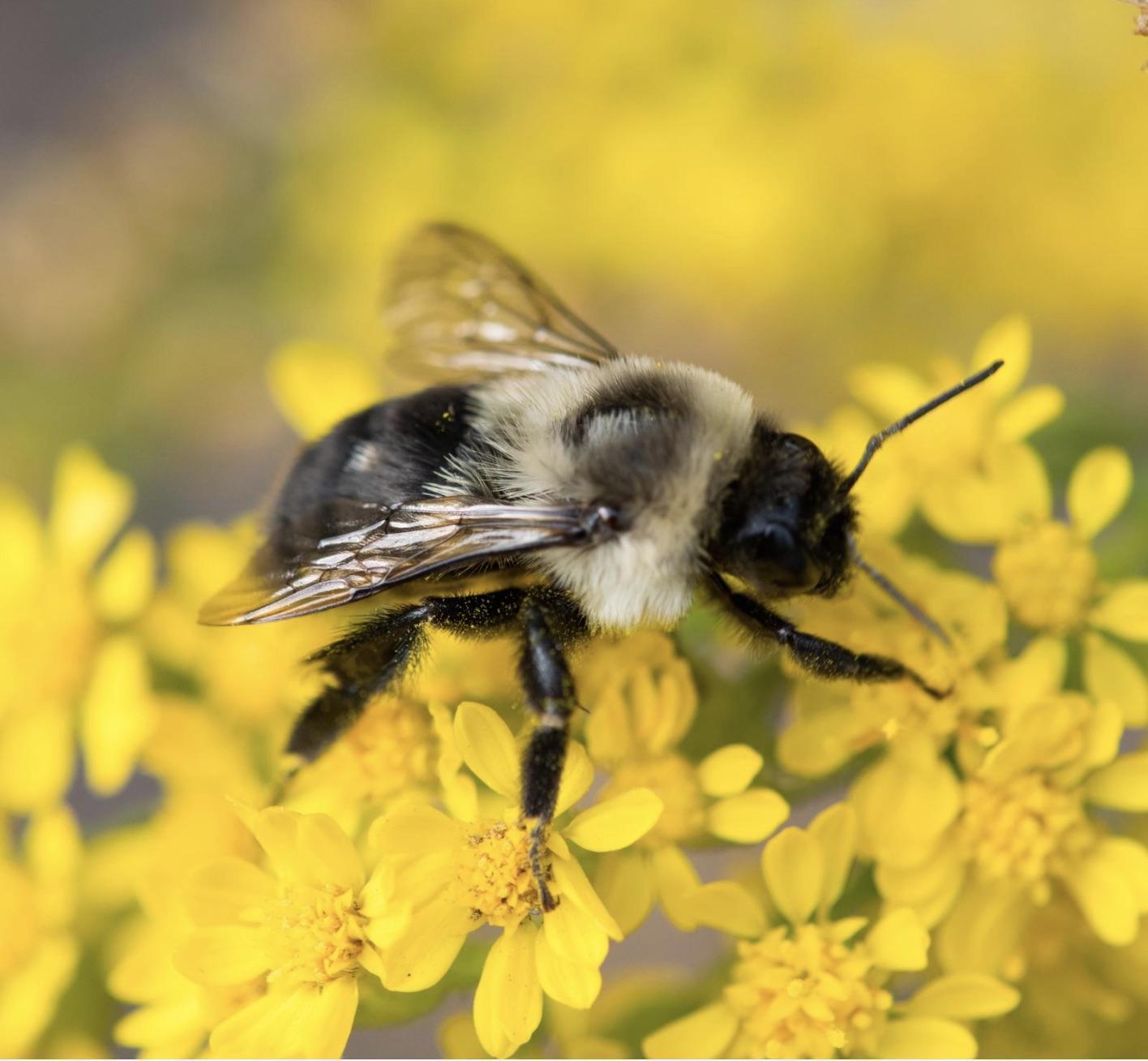Common eastern bumble bee Photo by Jacob Zadik