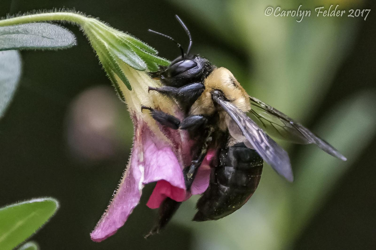 Common eastern bumble bee Photo by Carolyn Felder