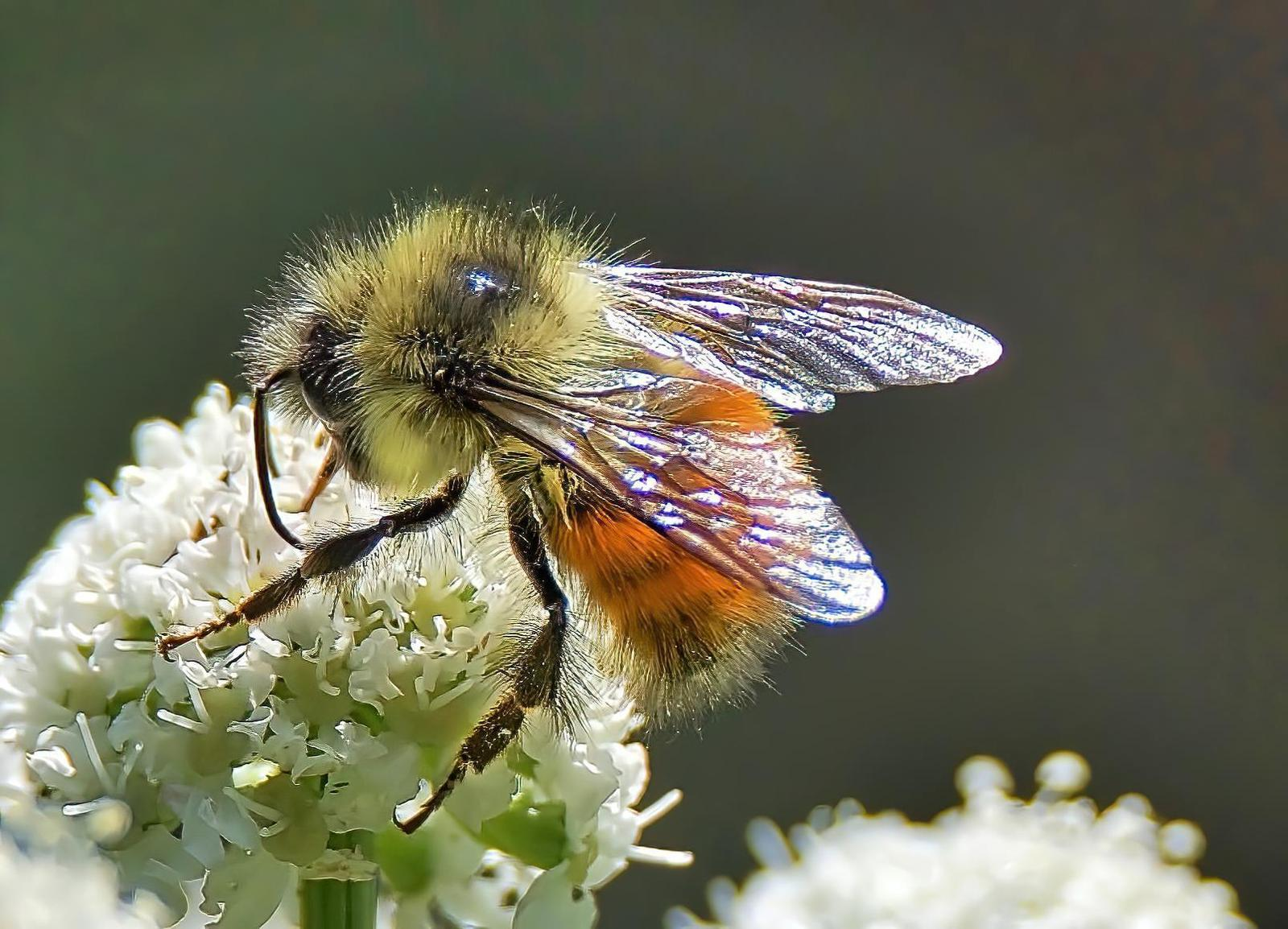 Forest bumble bee Photo by Brian Avent