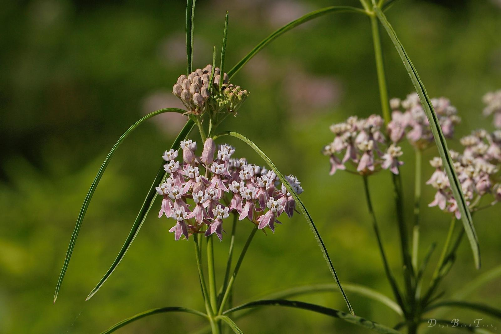 Narrow-leaved milkweed Photo by Digibirdtrek CA
