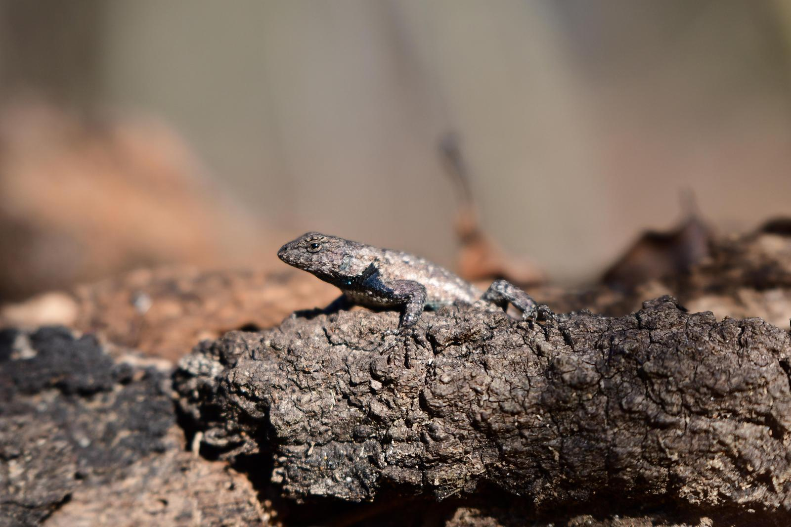 Eastern Fence Lizard Photo by Jacob Zadik