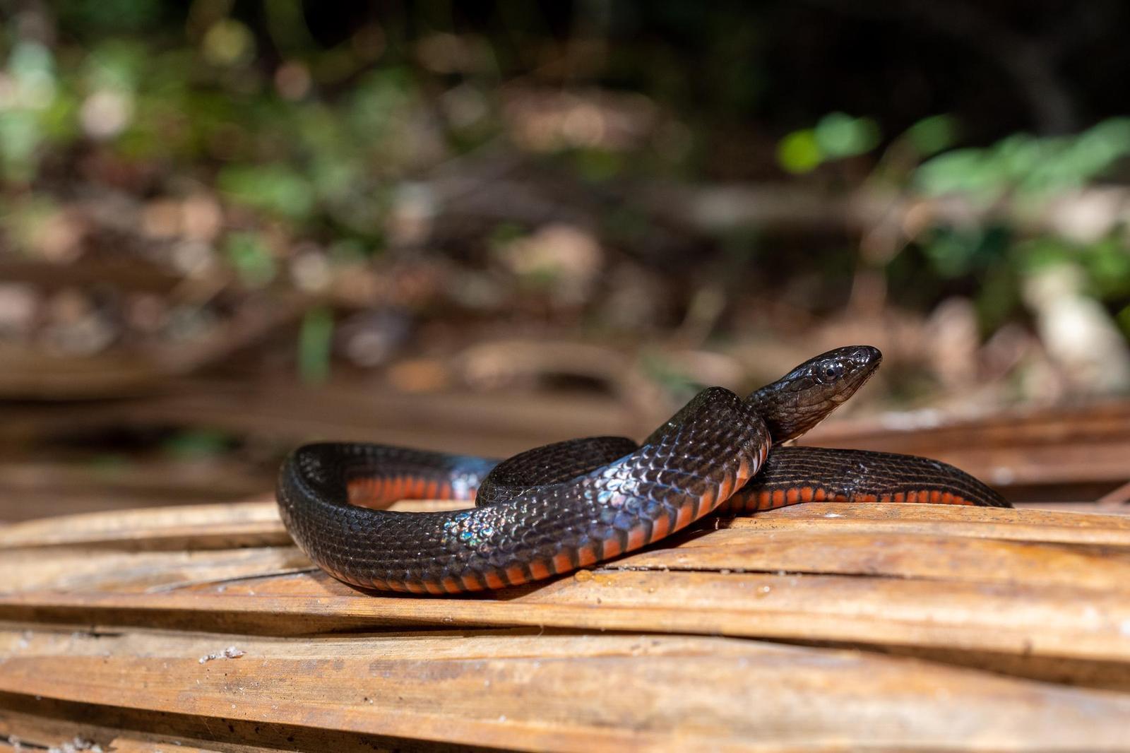 Black Swamp Snake Photo by Jacob Zadik